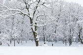 Winter trees covered with snow in the forest . — Stock Photo