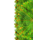 Branches of Christmas spruce on a white background. — Stock Photo