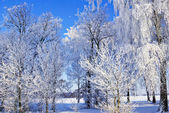 Tree branches covered with hoarfrost in winter. — Stock Photo
