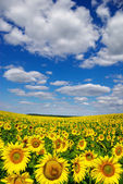 Blooming field  sunflowers on a background of blue sky — Stock Photo