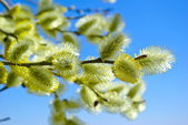 Pussy-willow branches against the blue sky — Stock Photo