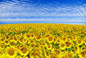 Blooming field  sunflowers on a background of blue sky — Stockfoto