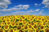 Blooming field  sunflowers on a background of blue sky — 图库照片