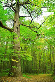 Big old oak on a background of the young forest — Stock Photo