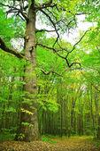 Большой старый дуб на фоне молодой лес — Стоковое фото