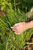 Harvesting fresh chives — Stock Photo