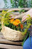 Harvesting herbs — Stock Photo