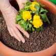 Planting yellow primrose — Stock Photo