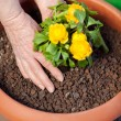 Stock Photo: Planting yellow primrose