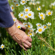 Senior Womans Hands Plucking Flowers In Park — Stock Photo
