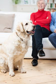 Loyal golden retriever dog with its owners — Stock Photo