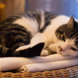 Resting cat — Stock Photo