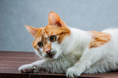 сладкая милая кошка в доме — Стоковое фото