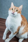 Home beautiful cute cat — Stockfoto