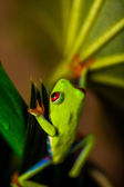 Frog on a leaf in the jungle — Stock Photo