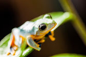 Jungle frog in natural environment — Stock Photo