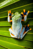 Beautiful exotic frog — Stock Photo