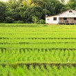 House in the rice field — Stock Photo