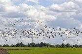 Large flock of birds — Stock Photo