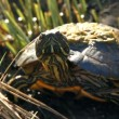 Turtle looking around — Vídeo de stock