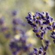 Close up shoot of Lavender buds on black background, sliding from sides. Many people appreciate lavender for its fragrance, used in soaps, shampoos, and sachets for scenting clothes. — Stock Video