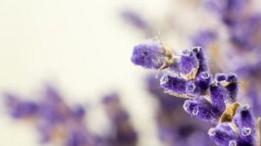 Close up shoot of Lavender buds on white background, sliding from sides. Many people appreciate lavender for its fragrance, used in soaps, shampoos, and sachets for scenting clothes. — Stock Video