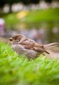 House Sparrow (Passer domesticus) — Stock Photo