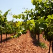 Summer vineyard — Stock Photo
