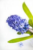 Beautiful blue hyacinth — Stock Photo