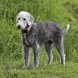 Stock Photo: Bedlington Terrier standing