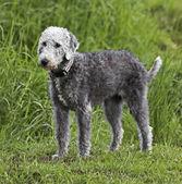 Bedlington Terrier standing — Stok fotoğraf