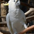 Cockatoo on a branch - Photo