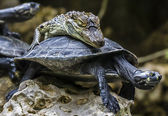 Baby-crocodile riding a tortoise — Stock Photo