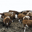 Group of bovines in deep winter — Stock Photo