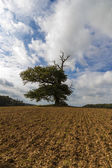 Thousand year old oak in between a field — Stock Photo