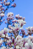Blooming magnoliaceae isolated on blue sky — Stock Photo