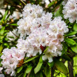 Closeup of pink rhododendron blossoms in spring — Foto de Stock