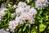 Closeup of pink rhododendron blossoms in spring — Stock Photo