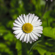 Closeup of a white daisy (Bellis perennis) — Stock Photo