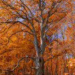 Red autumn beech with blue sky background — ストック写真