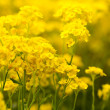 Basket of gold, (Aurinia saxatilis) in spring — Stockfoto