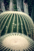 Vintage like close up of two round cactuses — Stock Photo