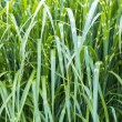 Close up of green reed pattern background — Stock Photo #38017443