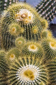 Closeup of some cactuses with yellow prickles — Stock Photo