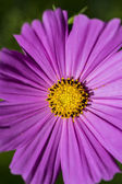 Close up of a purple flower with yellow stigma — Stock Photo