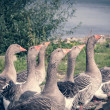 A band of running geese with green and blue color filter — Stock Photo #42902199