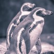 Portrait of two penguins with blue and red color filter — Stock Photo