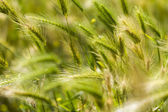Detail of a green spring wheat field, with some blurred ears — Stock Photo