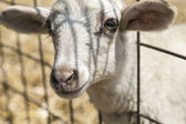Cute lamb looking through a metal fence — Stock Photo