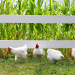 Stock Photo: Chickens and Roosters Running Under Fence